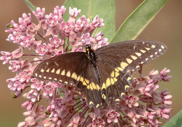 Black Swallowtail on Milkweed