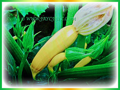 Lovely yellow coloured Zucchini (Courgette, Italian Marrow, Summer Squash) and its many promising buds, 30 July 2017
