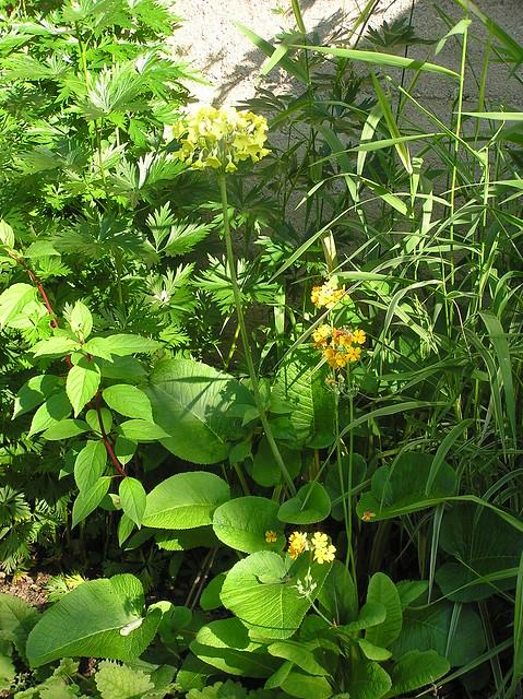 Primula florindae & P. bulleyana