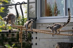 3 Ring-Tailed Circus 7D2_2628
