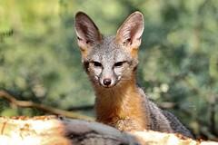Little Fox, Big Ears
