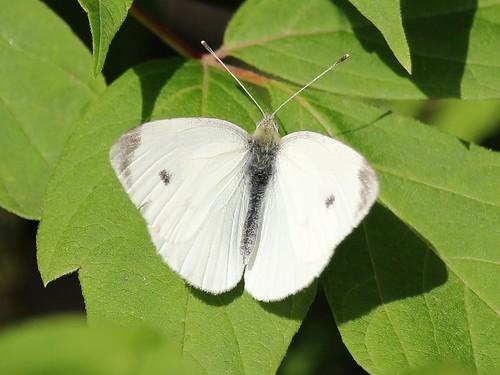 butterfly cabbagewhite pierisrapae oshawa ontario canada can groupdslr