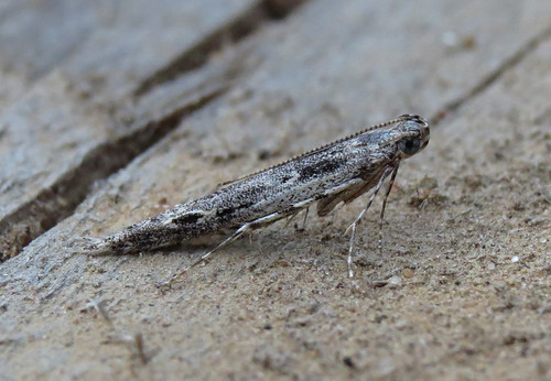 Batrachedra praeangusta Tophill Low NR, East Yorkshire July 2017