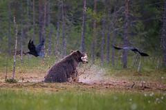 Bear in hurry