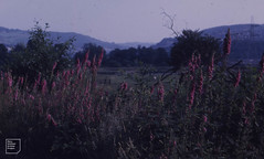 View down Taff Vale. Foxgloves. Cilfynydd old mine tramway. July 1971