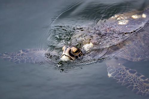 Sea Turtle Sighting in S. California