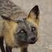 Cross Fox_4H4A6565 by bud_marschner