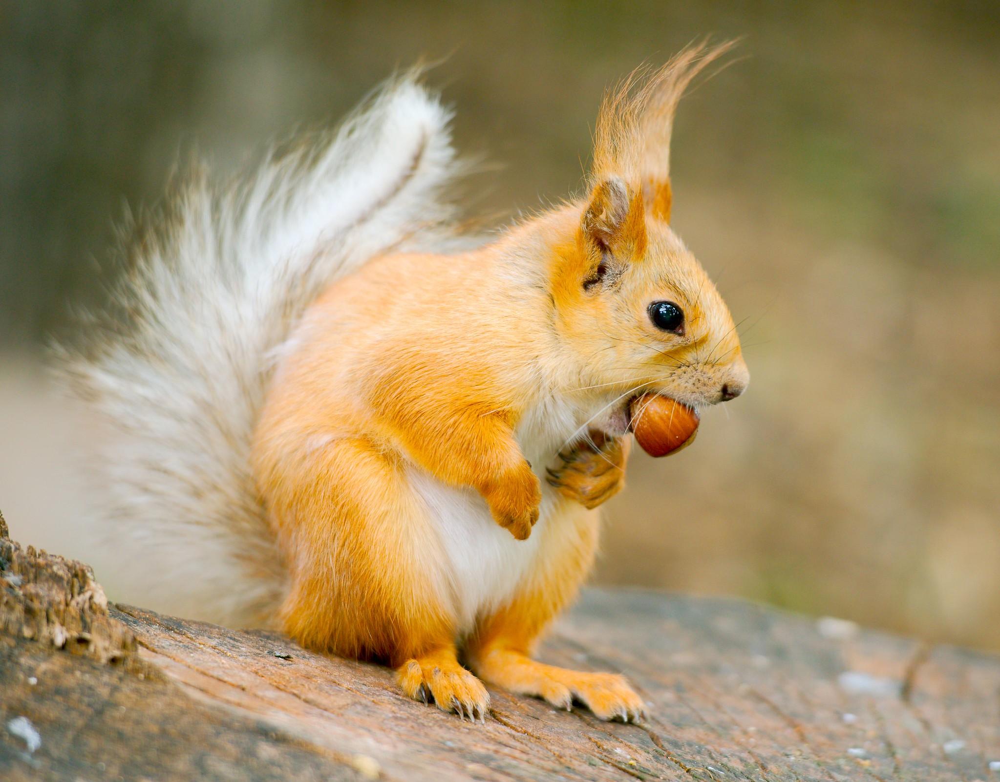 Russian Squirrel
