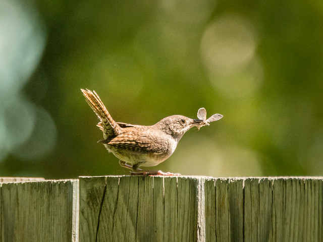 House Wren with a moth