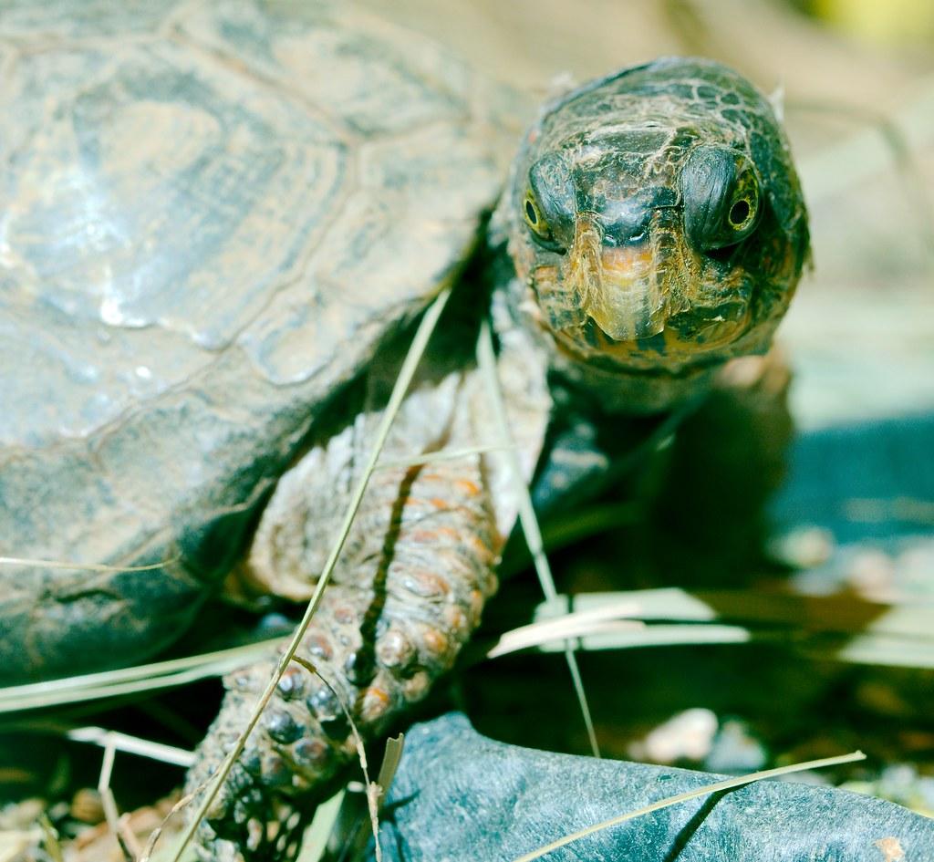 Leaf Turtle_2