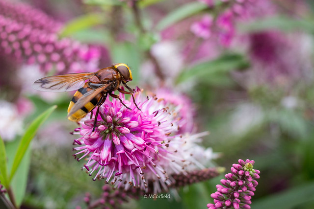 Hoverfly, Canon EOS 60D, Canon EF 35mm f/2