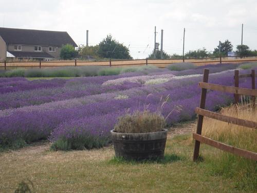 Nursery Field, Hitchin Lavender (Cadwell Farm)