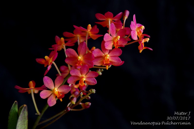 Vandaenopsis Pulcherrimin (Phalaenopsis pulcherrima X Vanda miniata) 35868367920_2127637946_c