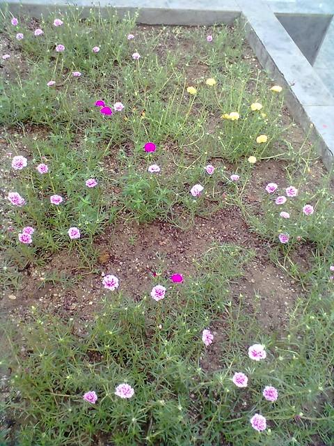 Japanese rose plant 1