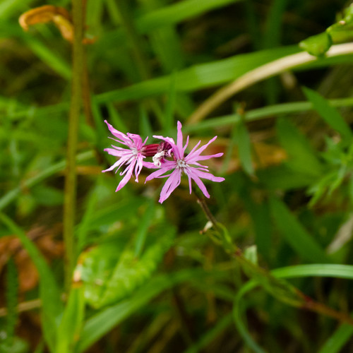 Pink on green: ragged robin flowers