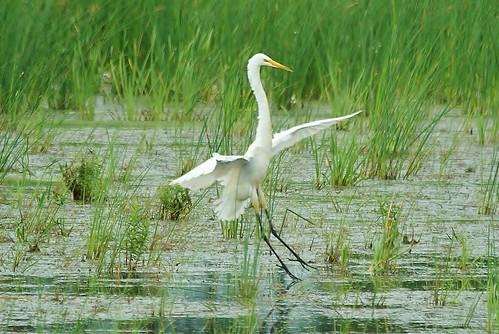 Horicon Marsh Egret