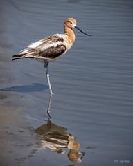 American Avocet (Recurvirostra americana) - Pond C - San Joaquin Wildlife Sanctuary