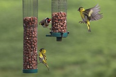 Siskins and a Goldfinch.