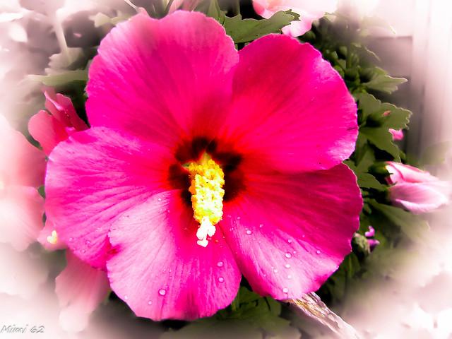 Fleur d'hibiscus, Canon POWERSHOT SX1 IS