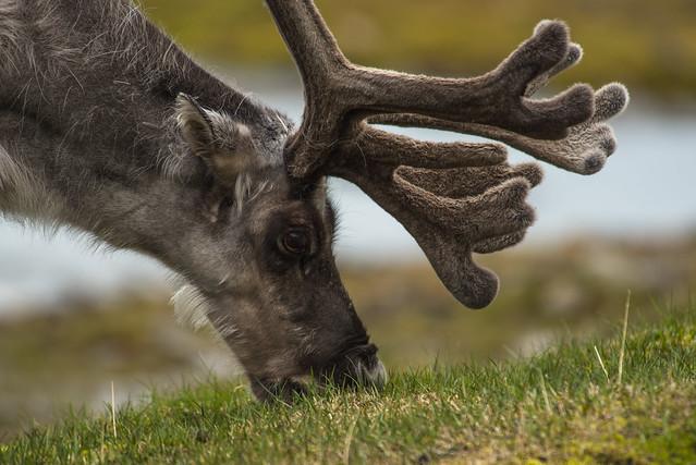 Svalbard Reindeer, Nikon D750, AF VR Zoom-Nikkor 80-400mm f/4.5-5.6D ED