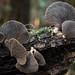 Pleurotus purpeo-olivaceus