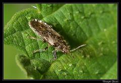 Heterogaster urtica - Photo of Antully