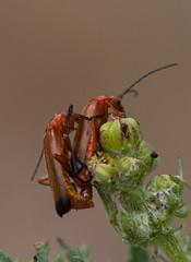 HolderSoldier Beetles