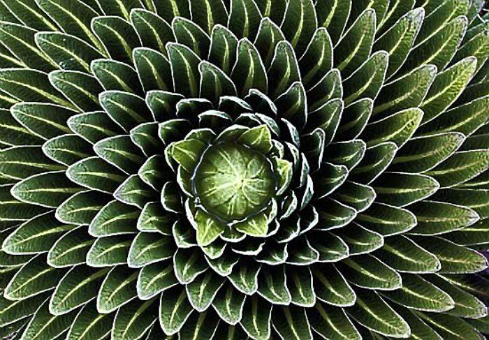 11Fibonacci-sequence-in-nature