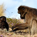 Gelada Baboon adult and young (Helen Pinchin)