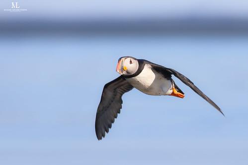Atlantic puffin - Macareux moine - Fratercula arctica
