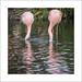 Headless Flamingo reflection
