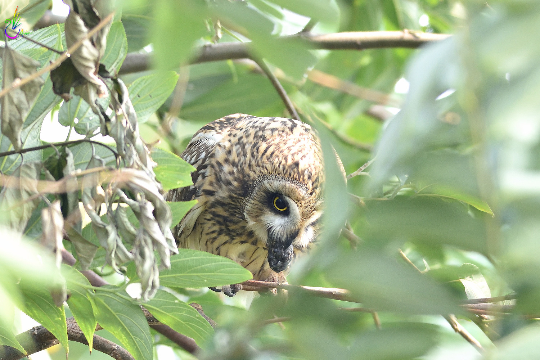 Short-eared_Owl_4070