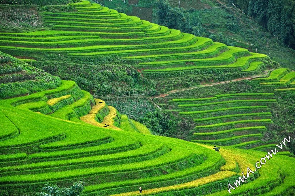 Tranh phong canh ruong bac thang Tay Bac Viet Nam AmiA