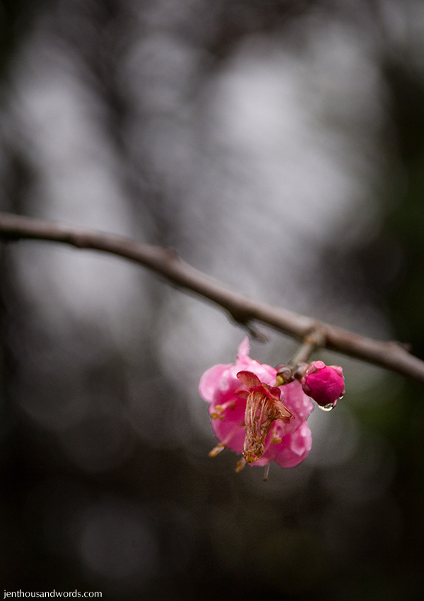 Blossoms after the rain 04
