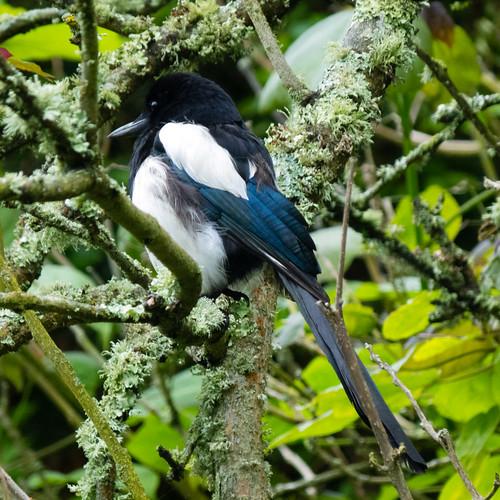 Magpie on the q.v., Morrab Garden, Penzance