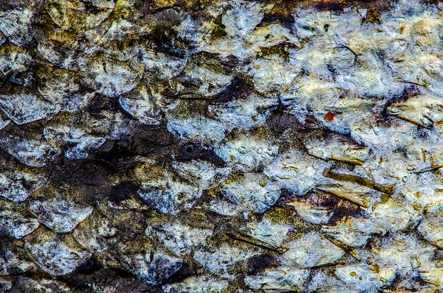 skin of salmon, Nikon D7000, AF-S DX Micro Nikkor 85mm f/3.5G ED VR