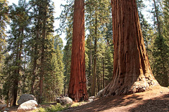Three Boys and Two Sequoias