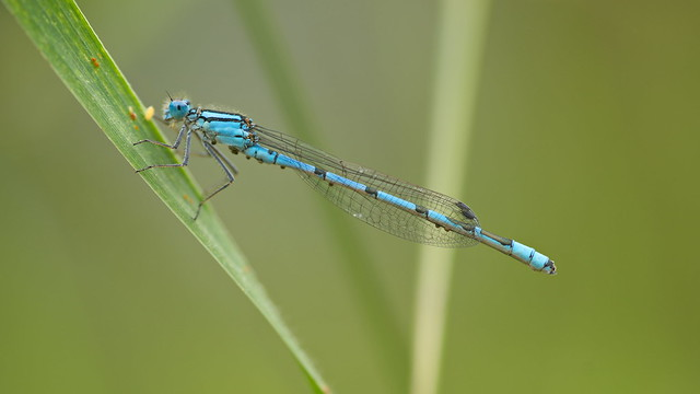 Blue Damselfly, male Enallagma, Sony ILCE-7, Sigma AF 105mm F2.8 EX [DG] Macro