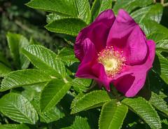 HolderRosehip Flower