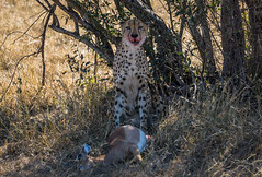 A Cheetah Enjoys a Freshly Killed Impala for Lunch in the Savannah
