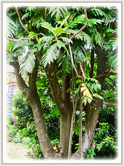 Fast growing tree of Artocarpus altilis (Breadfruit, Buah Sukun in Malay) with multiple trunks, 23 July 2017