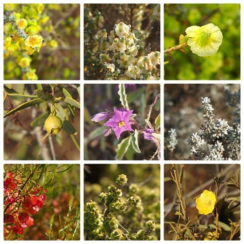 Wildflowers of Whyalla Conservation Park, South Australia
