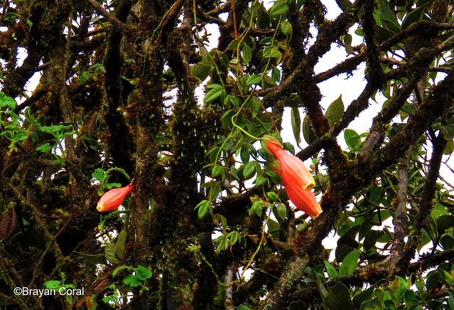 Passiflora colombiana L.K. Escobar