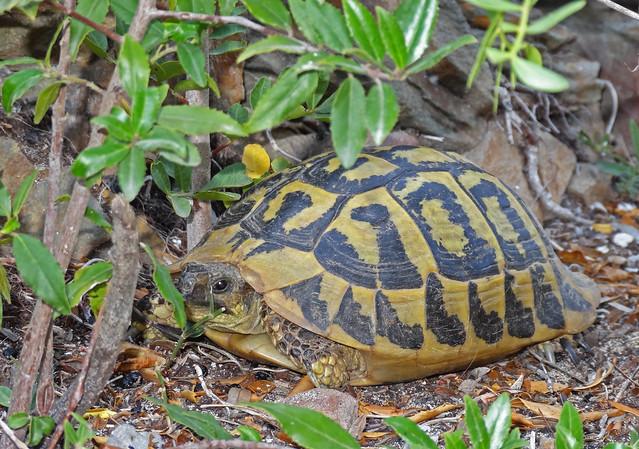 Hermann's Tortoise, Sony DSC-HX20V