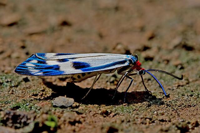 Chalcosia cf. pectinicornis, Nikon D5200, AF-S VR Micro-Nikkor 105mm f/2.8G IF-ED