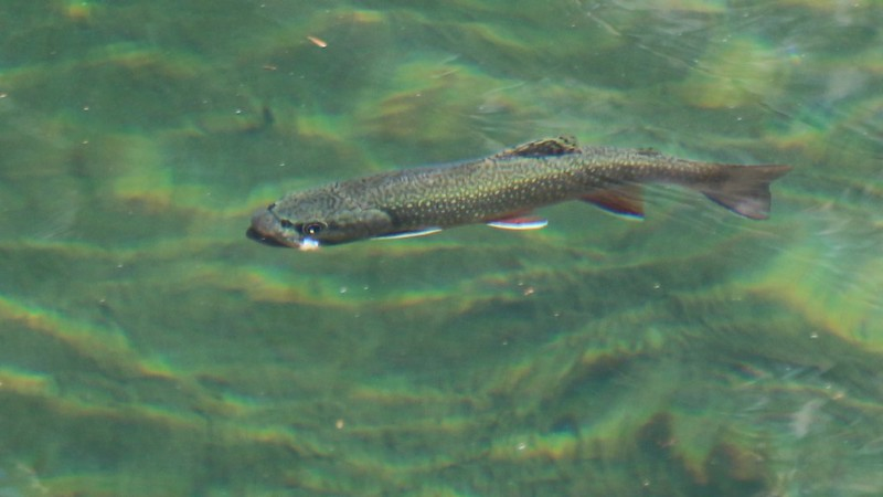 Trout swimming in the unnamed lake below Paiute Lake