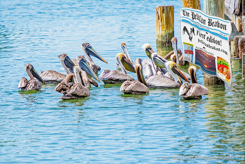 Pelicans reading the Pelican Beakon Newspaper