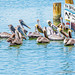 Pelicans reading the Pelican Beakon Newspaper by Fifth World Art