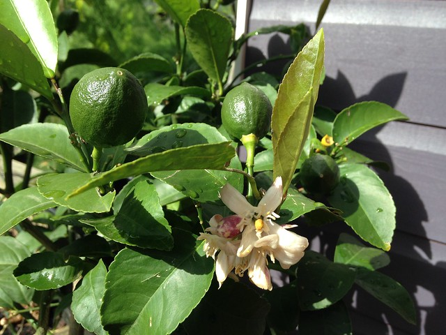 Fruit and flowers on the Meyer lemon from Lubera