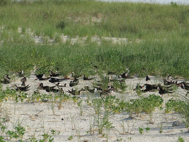 Black Skimmer Colony